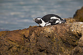 African penguin (Spheniscus demersus), Betty's bay, Western Cape, South Africa, December 2018