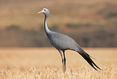 Blue crane (Anthropoides paradisea), Overberg, South Africa, December 2018
