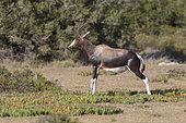 Bontebok (Damaliscus dorcas), De Hoop Nature reserve, South Africa, December 2018