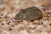 Four-striped Grass mouse (Rhabdomys pumilio), De Hoop Nature reserve, South Africa, December 2018