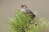 Cape grassbird (Sphenoeacus afer), Western Cape, South Africa, December 2018