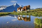 Vaches Simmental au bord d'un lac de montagne, l'Eiger et la Jungfrau en arrière-plan, Alpes bernoises, Suisse