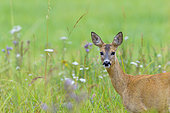 Western roe deer in summertime, Capreolus capreolus, Female, Hesse, Germany, Europe