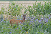 Western roe deer in summertime, Capreolus capreolus, Hesse, Germany, Europe