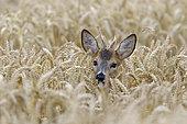 Western roe deer in cornfield, Capreolus capreolus, Roebuck, Summer, Hesse, Germany, Europe