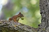 Red squirrel with walnut, Sciurus vulgaris, Hesse, Germany, Europe