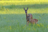 Western roe deers on meadow, Female with fawn, Capreolus capreolus, Hesse, Germany, Europe