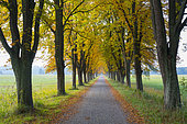 Chestnut-lined avenue in autumn, Hesse, Germany, Europe