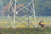 Fallow deer near High-Voltage Power Line, Germany, Europe