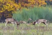 Fighting Fallow Deers at Rutting Season, Cervus dama, Hesse, Germany, Europe