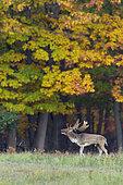 Belling Fallow Deer at Rutting Season, Cervus dama, Autumn, Germany, Europe