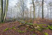 Dead old mossy tree, Spessart, Bavaria, Germany, Europe