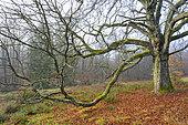 Chestnut tree in wintertime, Spessart, Bavaria, Germany, Europe