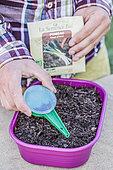 Leek seedling in seed tray.
