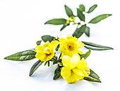 Primrose jasmine (Jasminum mesnyi) flowers on white background in studio.