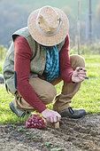 Man planting 'Brunswick Red' onions in winter.