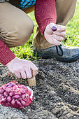 Man planting 'Brunswick Red' onions in winter.