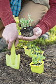 Man transplanting hashed peas in a bucket.