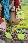 Man transplanting hastened bean plants in a bucket.