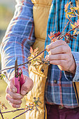 Man pruning a cultivated bramble (Rubus laciniatus), in winter.