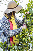 Woman pruning a lemon tree. To shorten the long branches is essential to preserve a subject with a balanced port.