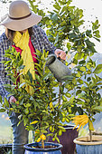 Woman watering a thirsty citrus fruit