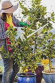 Woman bringing fertilizer to a potted citrus fruit
