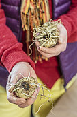 Put a rhizome of Zantedeschia to start indoors: man holding Ethiopian arum tubers.