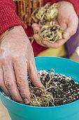 Put a rhizome of Zantedeschia to start indoors, in pot
