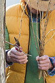 Man pruning a Trumpet creeper in winter