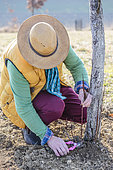 Man cutting the shoots at the foot of a grafted apricot tree, in winter.
