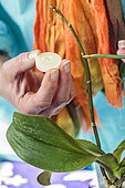 Application of a paste of hormones to promote the production of a keiki on a floral shaft of Phalaenopsis. Natural method of vegetative cuttings of orchids.