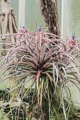 Tillandsia brachycaulos in flower under greenhouse