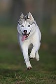 Siberian Husky bitch jumps over a meadow, Rhineland-Palatinate, Germany, Europe