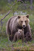 Female (Ursus arctos) with young bear in a boreal coniferous forest on a lake shore, Suomussalmi, Karelia, Finland, Europe