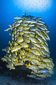 A fish tower. For a moment, the shoal of sweetlips (Plectorhinchus sp) took the form of a tower rising to the surface.