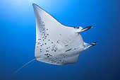Reef manta ray (Manta alfredi) at a depth of 50 metres in the lagoon of Mayotte.