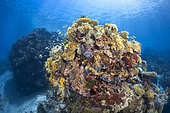 Coral potato : coral formation of the S channel, Mayotte