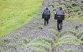 Collecting lavender flowers at the eco farm Sao Benedito, Sao Paulo, Brazil, South America