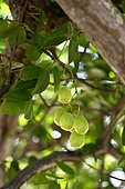 Ripe Umbu fruit (Spondias tuberosa) on the tree, Caladinho, Uaua, Bahia, Brazil, South America