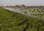 Irrigation of coffee plants at Luis Eduardo Magalhaes, Bahia, Brazil, South America