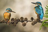 Two Common kingfishers ( Alcedo atthis) on Ansitzwarte, Netherlands