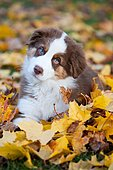 Australian Shepherd puppy lying in autumn foliage, North Tyrol, Austria, Europe