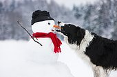 Border Collie, black and white, biting carrot nose of snowman, North Tyrol, Austria, Europe