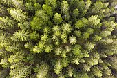 Spruce forest from above, near Lohberg, drone photograph, Bavarian Forest, Upper Palatinate, Bavaria, Germany, Europe