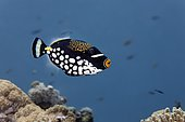 Clown triggerfish (Balistoides conspicillum), Great Barrier Reef, Unesco World Heritage Site, Pacific, Australia, Oceania