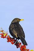 Blackbird (Turdus merula) perched on a pyracantha branch, England