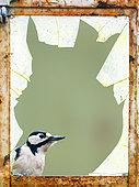 Pic épeiche (Dendrocopos major) regardant à l'intérieur d'une vieille fenêtre, Angleterre