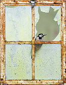 Pic épeiche (Dendrocopos major) perché dans une vieille fenêtre, Angleterre