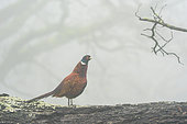Pheasant (Phasianus colchicus) standing on a tree trunk in the mist, England
